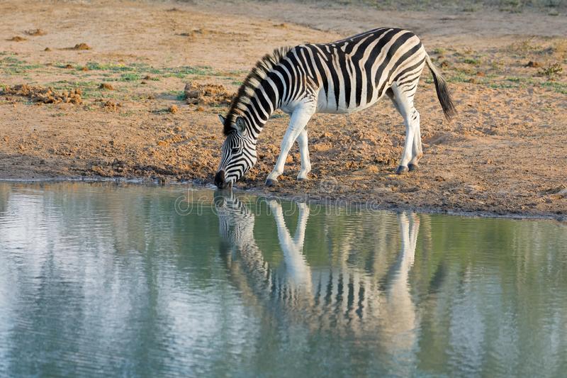 Plains zebra drinking water - South Africa stock photography