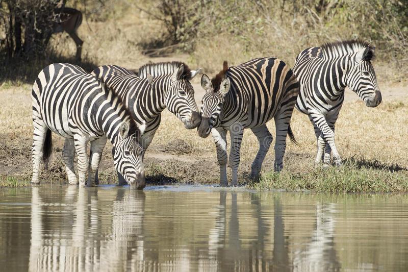 Plains Zebra drinking water, South Africa royalty free stock photos