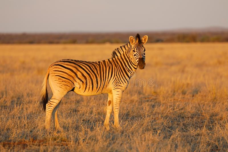 Plains zebra in late afternoon light stock photo