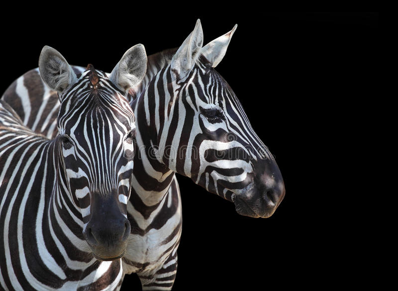 The Plains Zebra, Equus quagga. The Plains Zebra, Equus quagga is big mammal from Africa. Animals on black background. Wildlife and safari thematic picture with royalty free stock photo