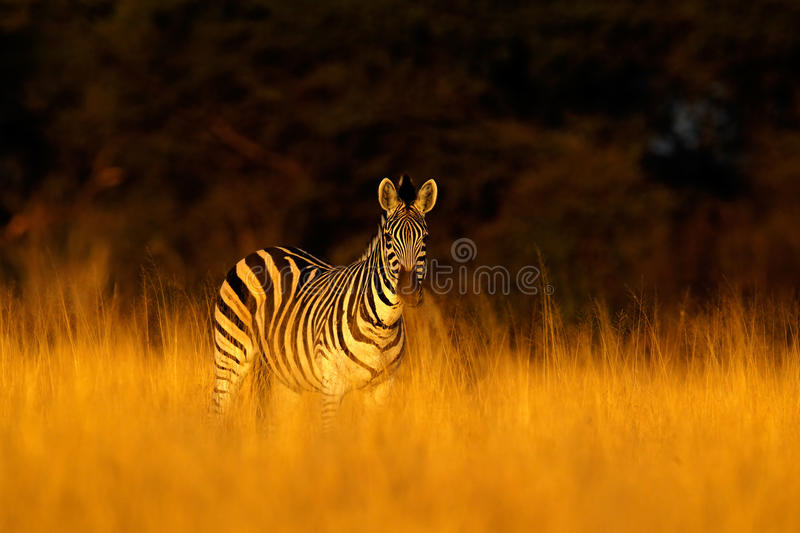 Plains zebra, Equus quagga, in the grass nature habitat, evening light, Hwange National Park Zimbabwe stock photography