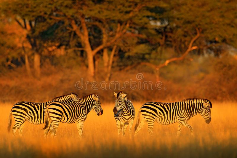 Plains zebra, Equus quagga, in the grassy nature habitat with evening light in Hwange National Park, Zimbabwe. Sunset in savanah. Animals with big trees stock photo