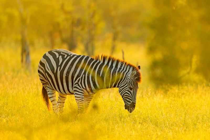 Plains zebra, Equus quagga, in the grassy nature habitat, evening light, Kruger National Park, South Africa. Wildlife scene from royalty free stock photography