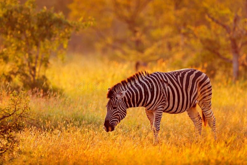 Plains zebra, Equus quagga, in the grassy nature habitat, evening light, Kruger National Park, South Africa. Wildlife scene from stock photography