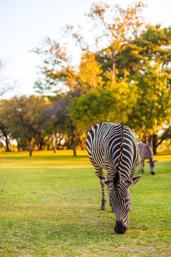 Download Plains Zebra (Equus Quagga) Grazing Stock Photo - Image: 27862762
