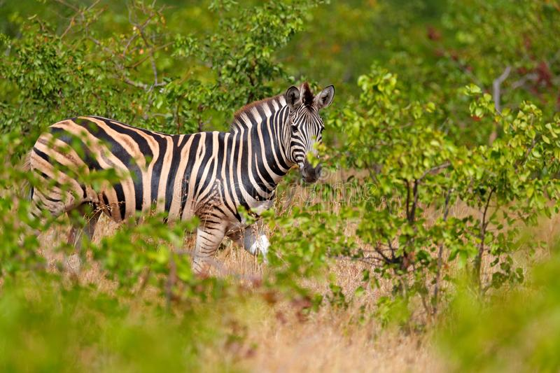 Plains zebra, Equus quagga, in the green forest nature habitat, hidden in the leaves, Kruger National Park, South Africa. Wildlife royalty free stock photography