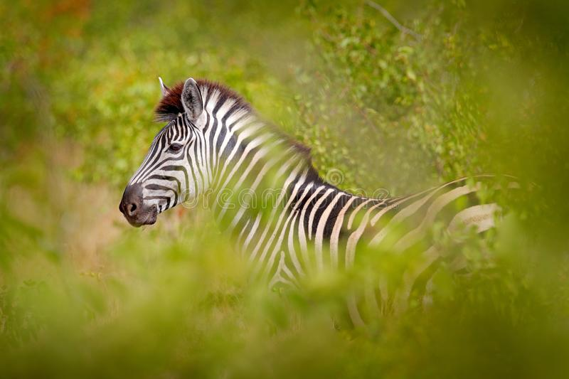 Plains zebra, Equus quagga, in the green forest nature habitat, hidden in the leaves, Kruger National Park, South Africa. Wildlife stock photos