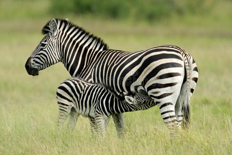 Plains Zebra with foal. Plains (Burchell's) Zebra (Equus quagga) mare with foal, Etosha National Park, Namibia, southern Africa stock photo