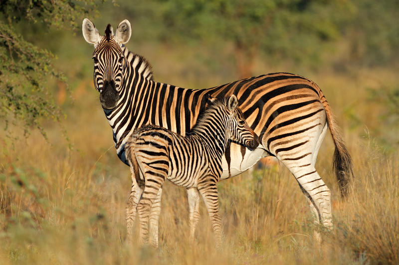Download Plains Zebra With Foal Stock Photo - Image: 43989924