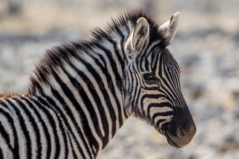 Plains zebra foal portrait Equus quagga. Etosha National Park, Namibia royalty free stock photos