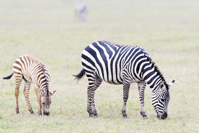 Plains Zebra with foal walking on the plain. Common or Plains Zebra Equus quagga with foal grazing on the plain in the Ngorongoro crater, Ngorongoro crater royalty free stock images