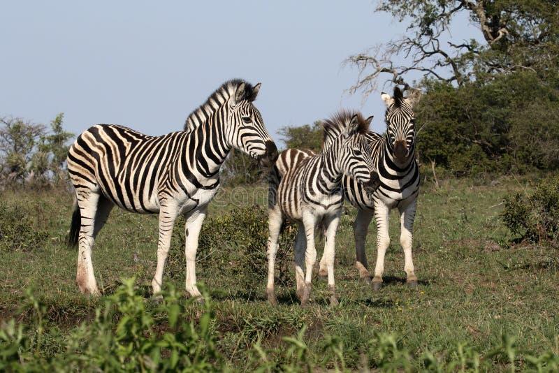 Plains Zebra, gemeines Zebra oder Burchells-Zebra, Equus Quagga stockfoto