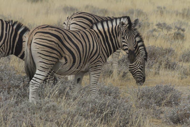 Plains Zebra Grazing in Etosha National Park, Namibia. Plains zebra harem grazing in the grasslands of Etosha National Park. Also called Burchell's zebra stock image