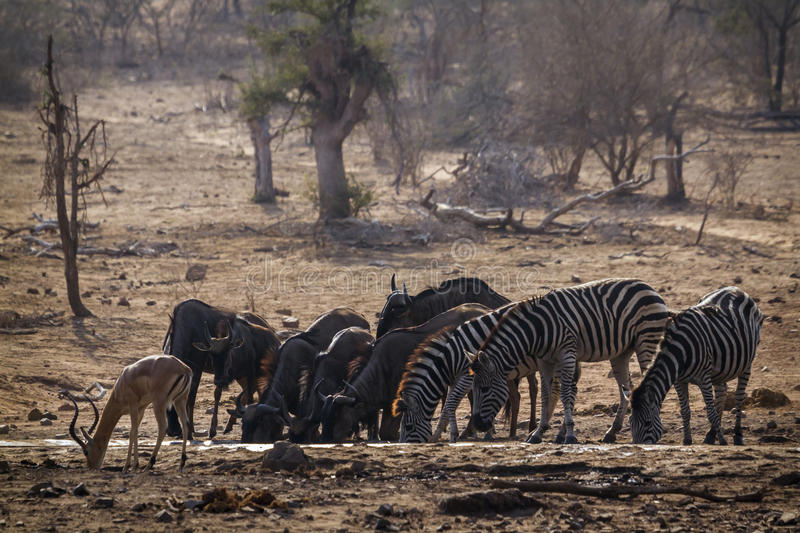 Plains zebra impala and wildebeest in Kruger National park, South Africa. Specie Equus quagga burchellii family of Equidae royalty free stock photo