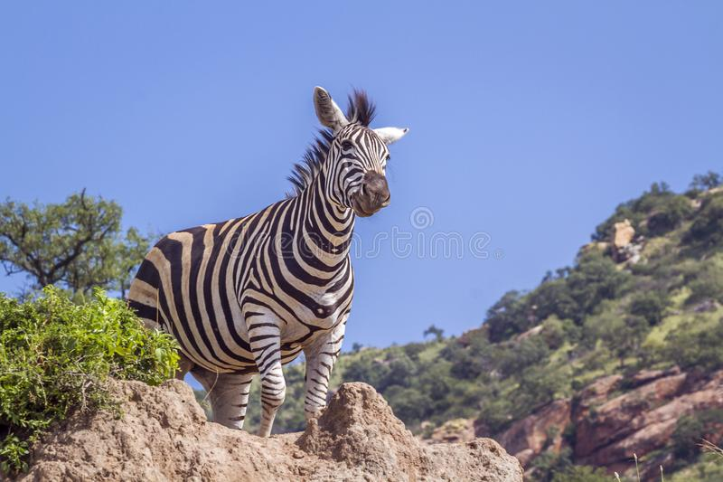 Plains zebra in Kruger National park, South Africa stock images
