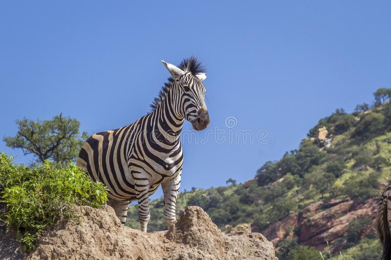Plains zebra in Kruger National park, South Africa stock photography