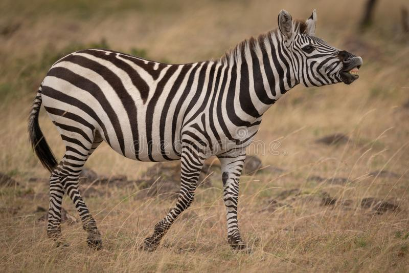 Plains zebra lifting head and showing teeth stock photos