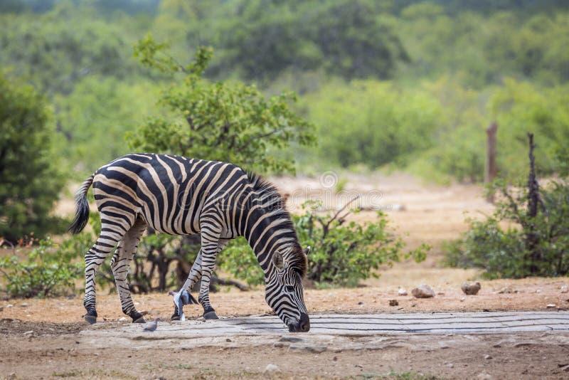 Plains a zebra no parque nacional de Kruger, África do Sul foto de stock royalty free