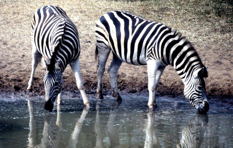 Plains Zebra pair at Mkhuze Game Reserve waterhole plateau in the Mt. Zebra National Park. The Kumasinga hide in the Mkhuze Game Reserve in KwaZulu north of royalty free stock images