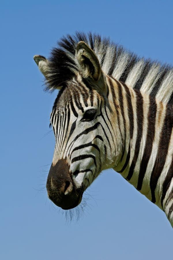 Download Plains Zebra portrait stock image. Image of quagga, south - 26193633