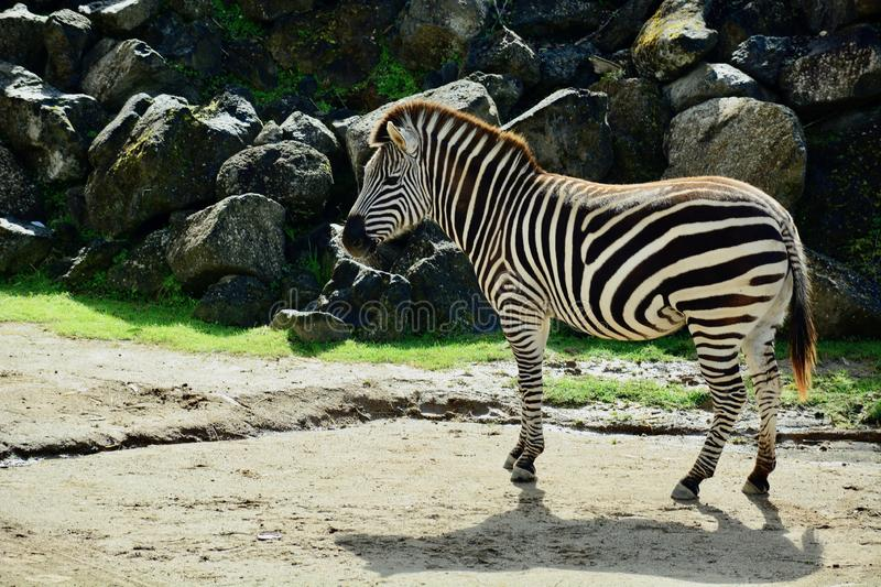 The plains zebra Equus quagga, also known as the common zebra, is the most common and geographically widespread royalty free stock photography