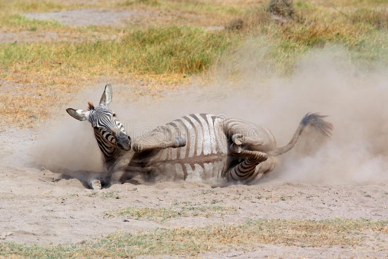 Plains zebra rolling in dust royalty free stock photography