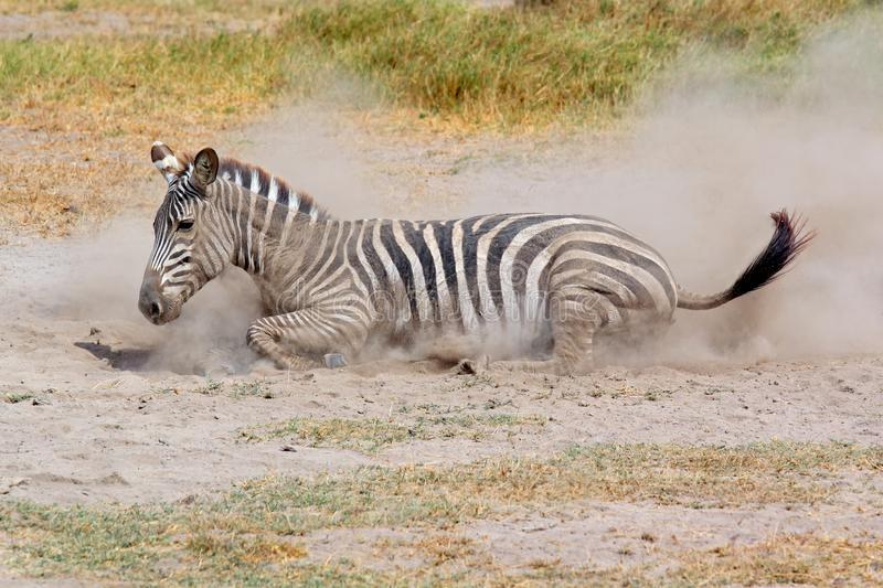 Plains zebra rolling in dust royalty free stock image