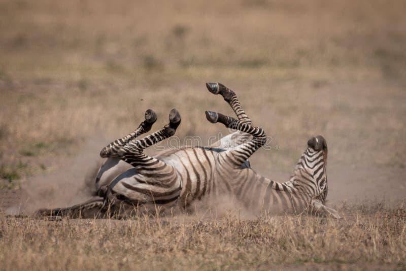 Plains zebra on savannah rolling in dust stock photos