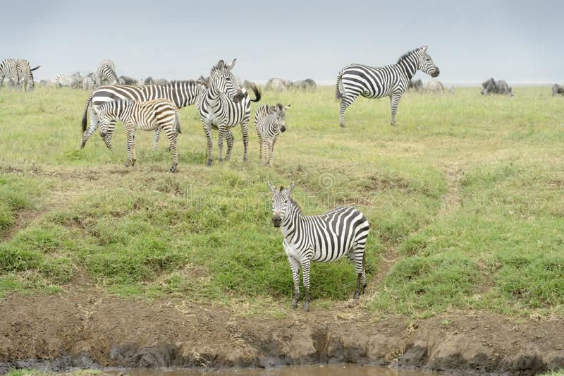 Plains Zebra small herd in Ngorongoro crater. Common or Plains Zebra Equus quagga herd standing on the plain at river in the Ngorongor crater, Ngorongoro crater stock photos