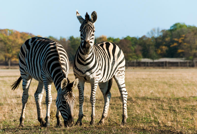 Plains zebra. Two striped zebra close-up in the African savanna stock image