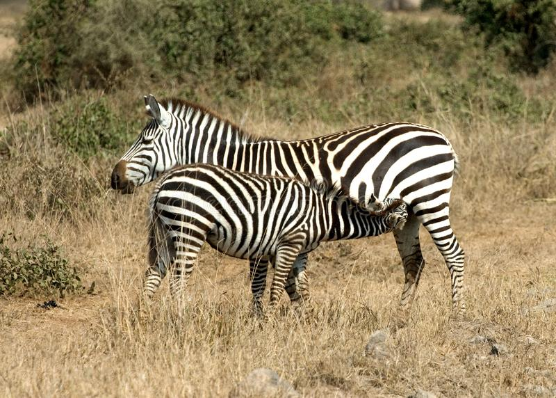 Plains zebra, steppezebra, Equus quagga. Plains zebra with young feeding; steppezebra met jong zogend stock photo