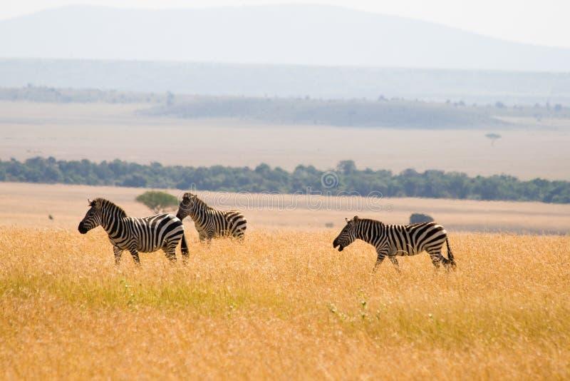 Download Plains Zebras stock image. Image of plains, kenya, kenyan - 27990559