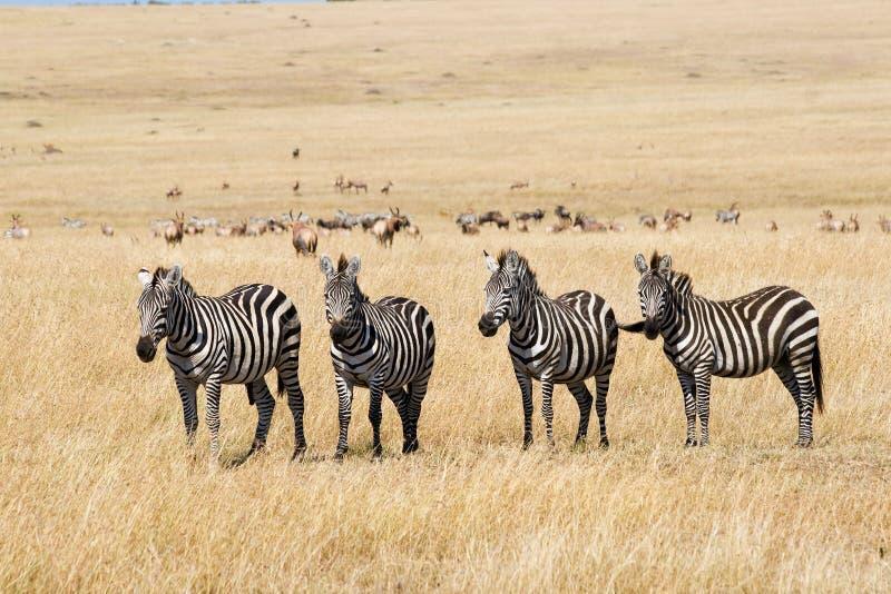 Download Plains zebras stock image. Image of african, national - 28267811
