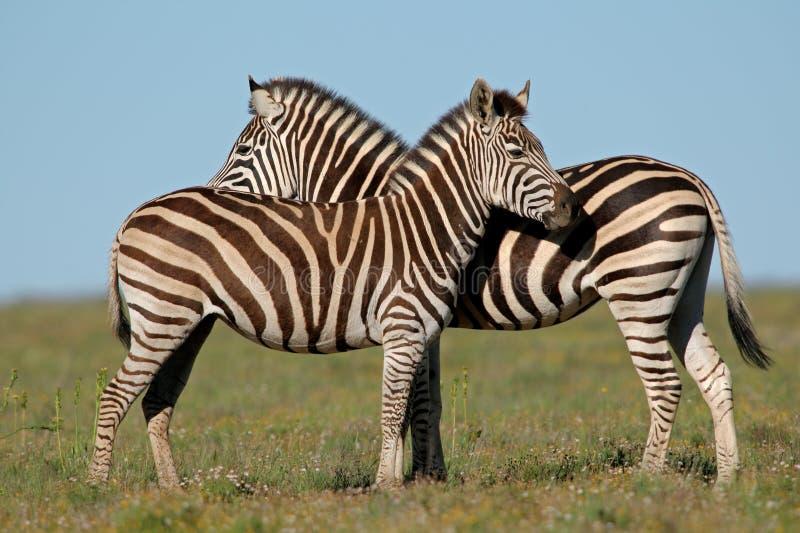 Plains Zebras stock image