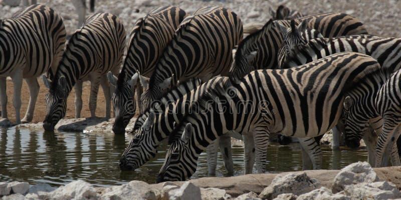 Plains Zebras. (Equus quagga) drinking at the waterhole in the Etosha National Park, Namibia royalty free stock image