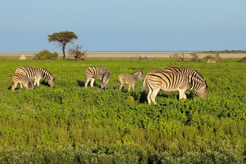 Plains Zebras auf Etosha-Ebenen lizenzfreies stockbild