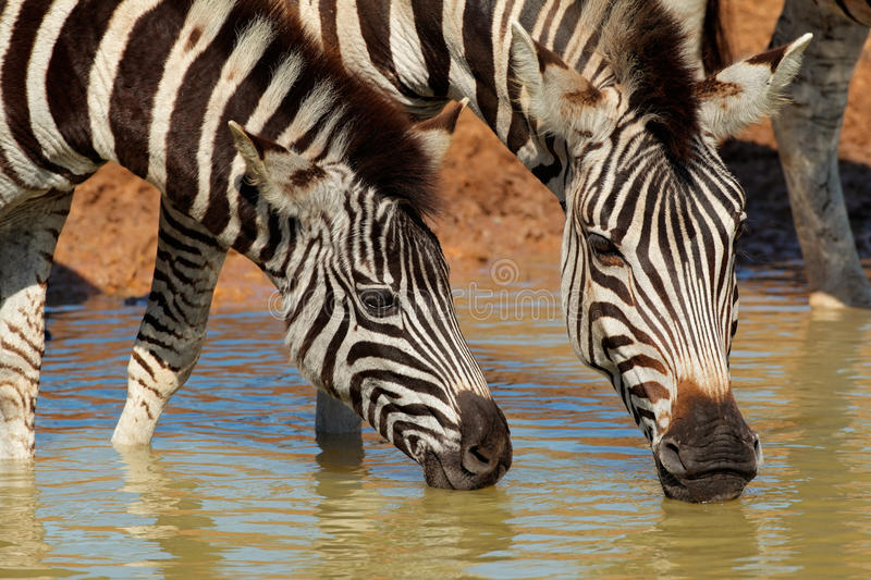 Plains Zebras Drinking Royalty Free Stock Image