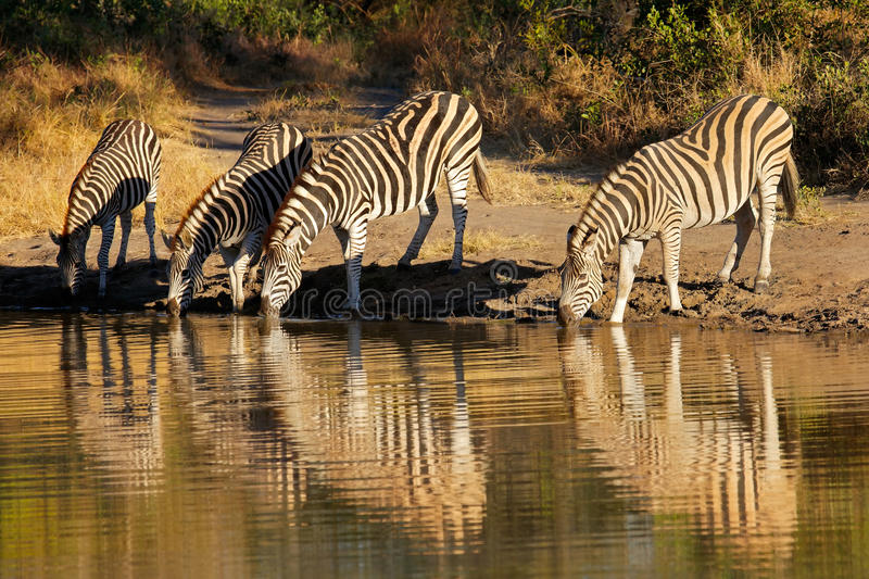 Plains Zebras drinking. Plains Zebras (Equus burchelli) drinking water, Sabie-Sand nature reserve, South Africa stock photo