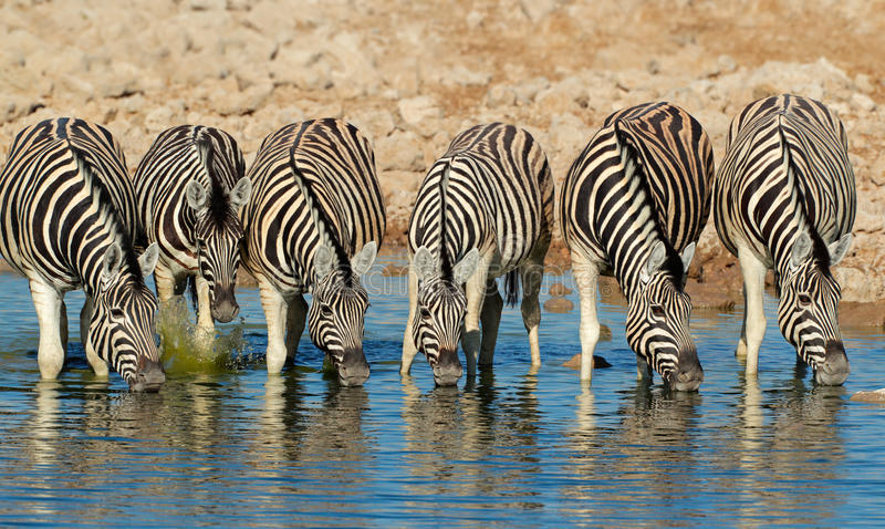 Plains Zebras drinking water. Plains (Burchells) Zebras (Equus burchelli) drinking water, Etosha National Park, Namibia stock photography