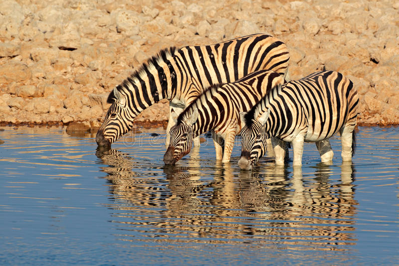 Plains Zebras drinking water. Plains (Burchells) Zebras (Equus burchelli) drinking water, Etosha National Park, Namibia royalty free stock photography