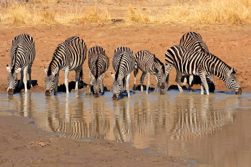 Plains Zebras drinking water. Plains Zebras (Equus burchelli) drinking water, Pilanesberg National Park, South Africa royalty free stock photography