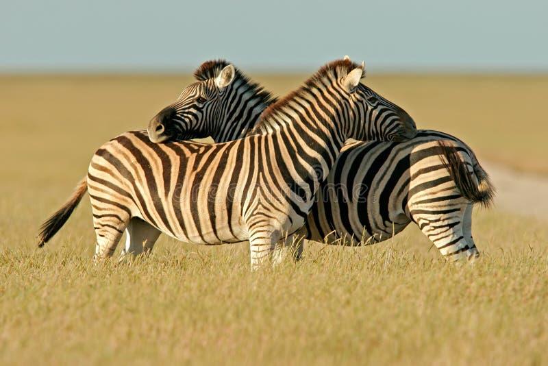 Plains Zebras, Etosha National Park, Namibia. Two Plains (Burchell's) Zebra stallions (Equus quagga), Etosha National Park, Namibia, southern Africa royalty free stock photography