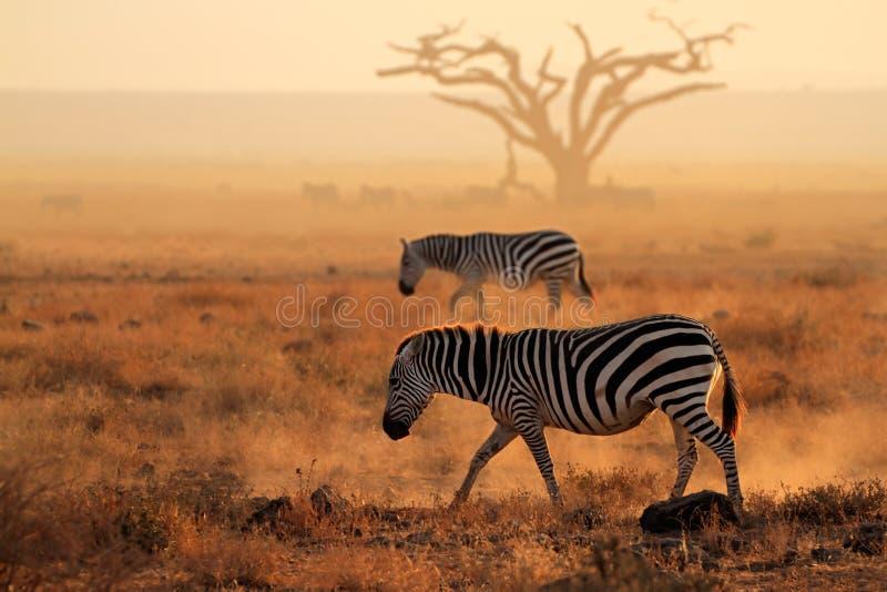 Plains Zebras im Staub stockfotos