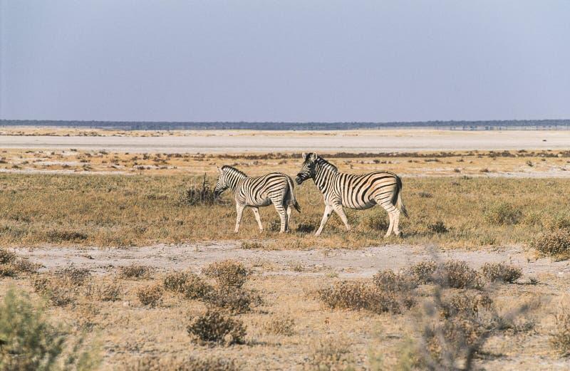 Plains zebras no parque nacional de Etosha, Namíbia fotografia de stock