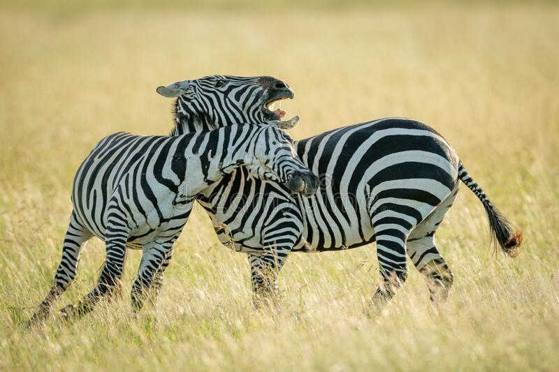 Plains zebras play fighting in tall grass stock photography