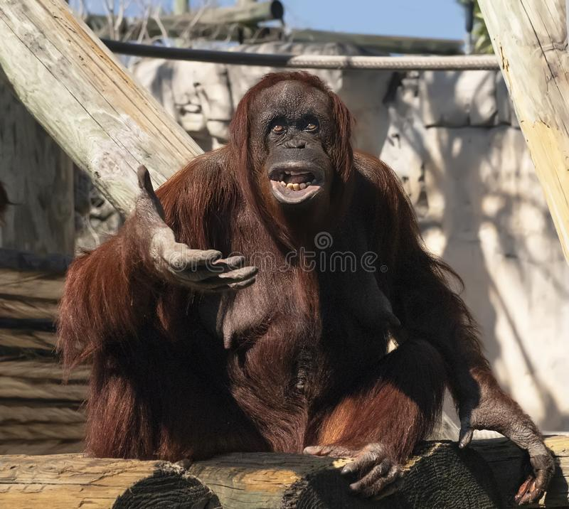 Orangutan at Zoo Tampa at Lowery Park. The plaintive expression displayed by a female orangutan at Zoo Tampa at Lowery Park on Florida`s Gulf Coast, is really royalty free stock photos