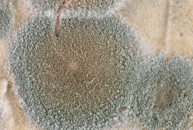Plak van beschimmelde kaas stock foto