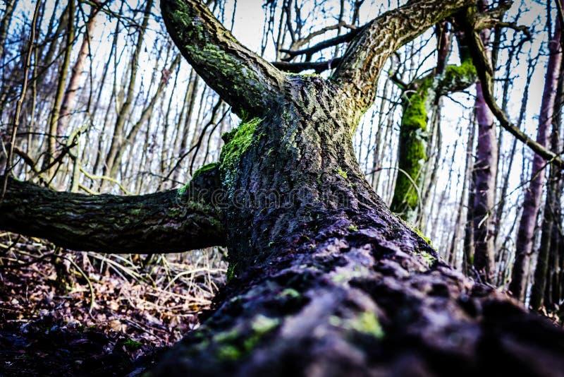 Plama drzewny bagażnik na ziemi obrazy royalty free