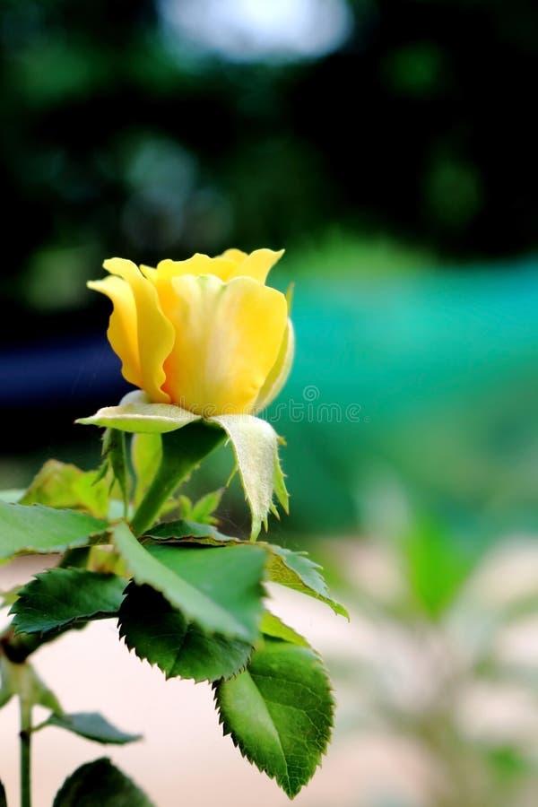 plama koloru żółtego buding róża obraz stock