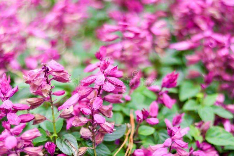 Plama menchia kwiatu natury tło zdjęcia stock